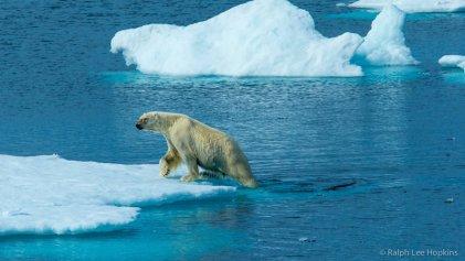 Osos polares, íconos de la crisis climática: cada vez más delgados y hambrientos