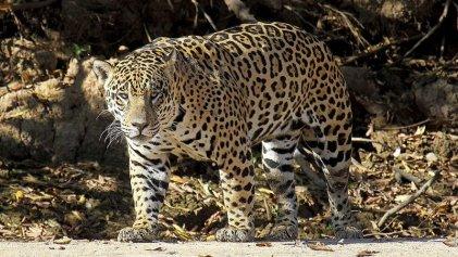 El yaguareté y su hábitat en riesgo: Gobierno de Salta avala desmontes para el agronegocio